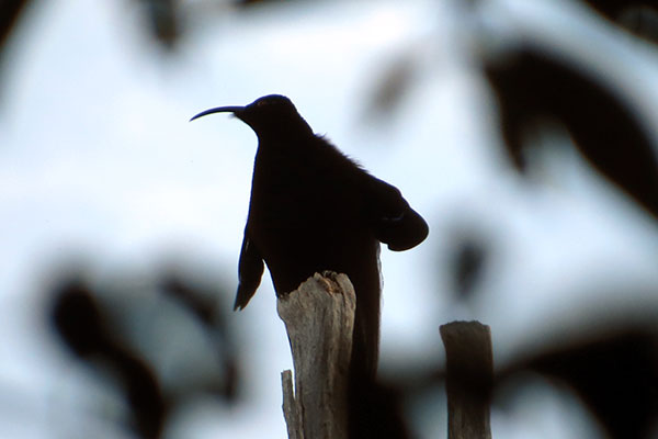 Black Sicklebill Papua