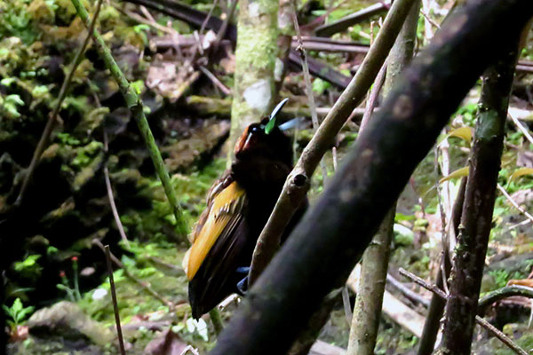 Magnificent Bird-of-Paradise (male) Arfak West Papua by Royke Mananta