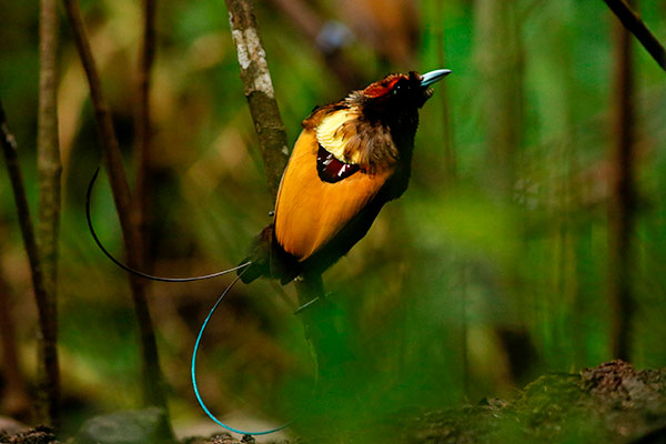 Magnificent Bird-of-Paradise (male) West Papua by Royke Mananta