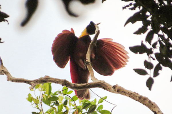 Red Bird-of-Paradise- Papua by Royke Mananta