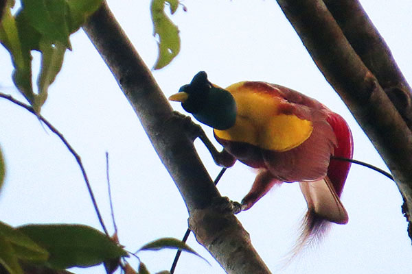 Red Bird-of-Paradise (male) West Papua