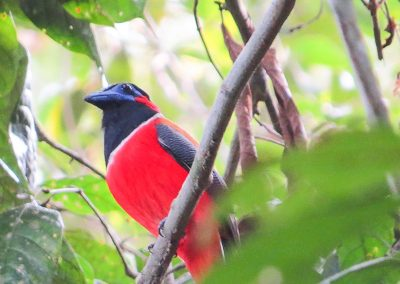 Red-naped-Trogon