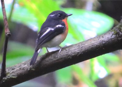 Rufous-chested-Flycatcher-02