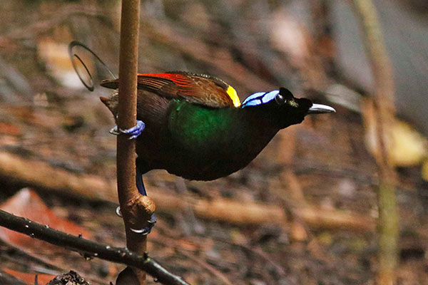 Wilson's Bird-of-Paradise (male) West Papua by David Beadle