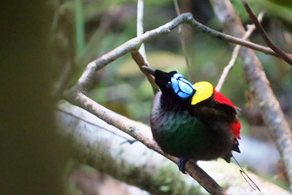 Wilson's Bird-of-Paradise-West papua