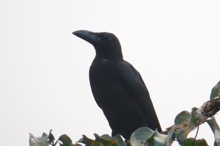 large-billed-crow