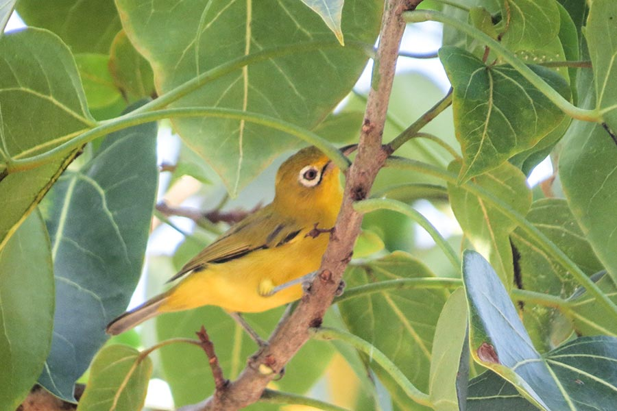 lemon-bellied-white-eye