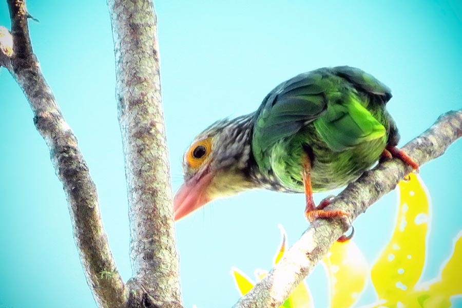 lineated-barbet