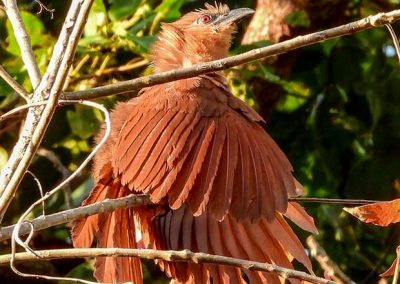 Bay-Coucal