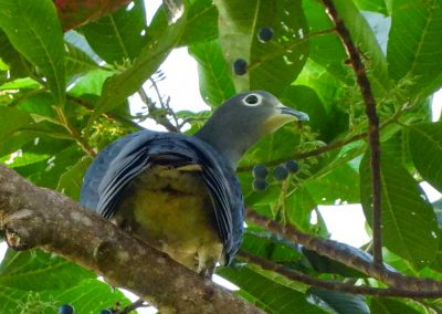 Moluccan-Imperial-Pigeon4