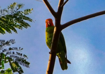 Red-cheeked-Parrot